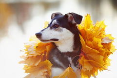 Portrait of a dog in yellow autumn leaves. Stock Photos