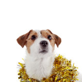 Portrait of a doggie and Christmas tinsel Stock Photos