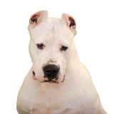 Portrait of the Dogo Argentino isolated on white background Royalty Free Stock Photography
