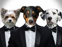 Portrait of Dogs in a business suit stock photography