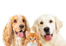 Portrait dogs and kitten Royalty Free Stock Images