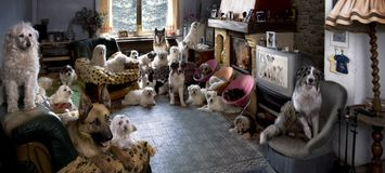Portrait of 24 dogs in a living room in front of a TV screen royalty free stock photo