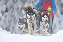 Husky and malamute dogs at the sleeding racing contest. Portrait of dogs participating in the Dog Sled Racing Contest stock image