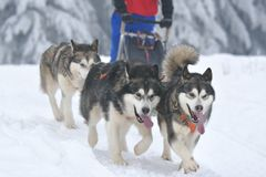 Husky and malamute dogs at the sleeding racing contest. Portrait of dogs participating in the Dog Sled Racing Contest stock images