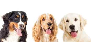 Portrait dogs Royalty Free Stock Images