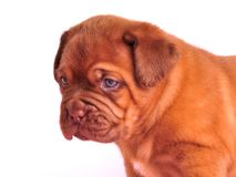 Portrait of Dogue De Bordeaux Puppy Royalty Free Stock Photos