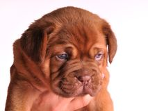 A portrait of Dogue De  Bordeaux puppy Stock Photos