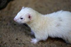 Portrait of domestic beige male ferret stock image