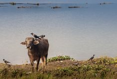 Portrait of domestic buffalo in Nepal stock photos