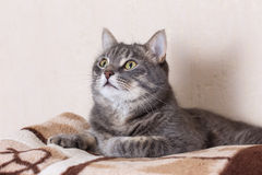 Portrait of domestic cat Stock Images