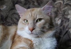 Portrait of a domestic cat with a red color. The cat relaxes at home freely and smiles Royalty Free Stock Photos