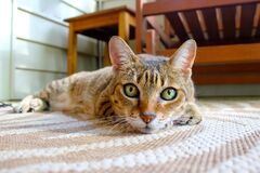 Portrait of domestic cat on rug