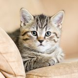Portrait of domestic cat on a sofa Stock Images
