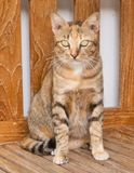 Portrait of A Domestic Cat Standing on Wooden Chair Stock Photos