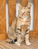 Portrait of Domestic Cat Standing on Wooden Chair Stock Images