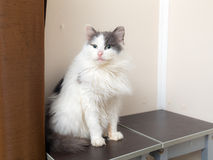 Portrait of domestic cat Royalty Free Stock Images