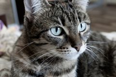 Portrait of a domestic cat tricolor. With a beautiful muzzle royalty free stock images