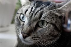 Portrait of a domestic cat tricolor. With a beautiful muzzle royalty free stock photos