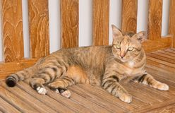 Portrait of A Domestic Cat on Wooden Chair Stock Photos