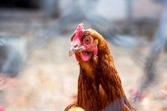 Portrait of a domestic chicken Stock Photo