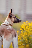 Portrait of a domestic dog in yellow flowers. Royalty Free Stock Photos