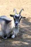 Portrait of domestic goat Royalty Free Stock Photos