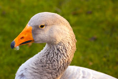 Portrait of a domestic goose / Anser anser domesticus. Close up of a domestic geese / Anser anser domesticus or Anser cygnoides royalty free stock images