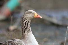 Portrait of a domestic goose with a bright orange bill Royalty Free Stock Images