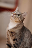 Portrait of a domestic gray striped cat Stock Photography