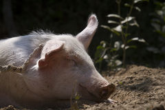Portrait of a domestic pig in Nepal Royalty Free Stock Photography