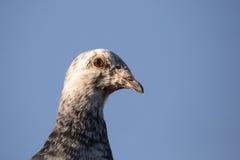 Portrait of domestic pigeons Stock Photos