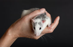 Portrait of a domestic rat Stock Photo