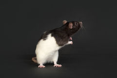 Portrait of domestic rat Royalty Free Stock Image