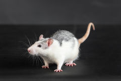 Portrait of domestic rat Royalty Free Stock Photography
