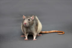 Portrait of domestic rat on a gray background Stock Photography