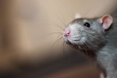 Portrait of domestic rat Stock Photography