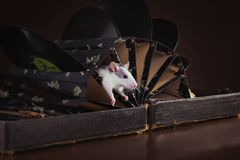 Portrait of domestic rat Royalty Free Stock Photo