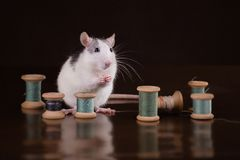 Portrait of domestic rat Royalty Free Stock Photos
