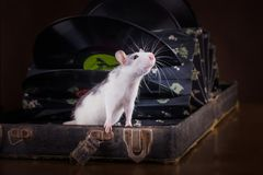 Portrait of domestic rat Stock Image