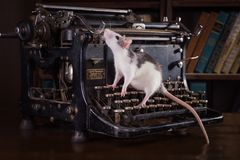 Portrait of domestic rat. Rat in a retro interior, sitting on a typewriter Royalty Free Stock Image