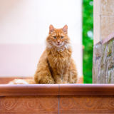 Portrait of domestic red cat on terrace. In sunlight Stock Photo