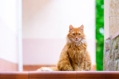 Portrait of domestic red cat on terrace. In sunlight Royalty Free Stock Photography