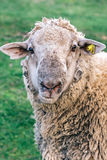 Portrait of domestic sheep Royalty Free Stock Photography