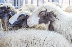 Portrait of a domestic sheep Stock Image