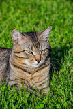 Portrait of domestic short-haired tabby cat lying in the grass. Tomcat relaxing in garden Stock Photos
