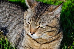 Portrait of domestic short-haired tabby cat lying in the grass. Tomcat relaxing in garden Royalty Free Stock Photography