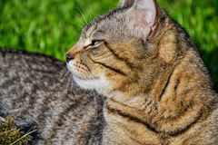 Portrait of domestic short-haired tabby cat lying in the grass. Tomcat relaxing in garden Stock Photo