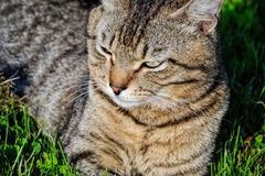Portrait of domestic short-haired tabby cat lying in the grass. Tomcat relaxing in garden Royalty Free Stock Photos