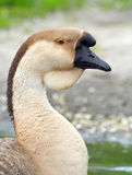Portrait of a domestic Swan Goose. (Anser cygnoides) on a blurred background stock photos