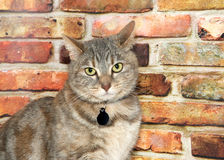 Portrait of a domestic tabby cat with collar. Portrait of one gray domestic tabby short hair cat with light yellow green eyes, looking at viewer. Sitting in Royalty Free Stock Image